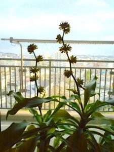 幸福の木の花のつぼみ