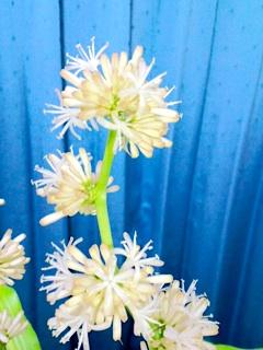 幸福の木の花、開花直後