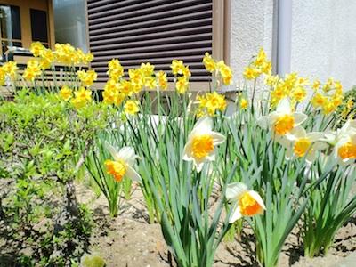 水仙 黄色は小さい
