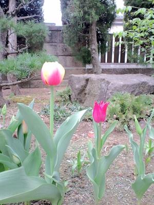チューリップ ピンクと黄