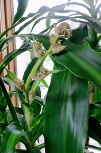 ドラセナ・マッサンゲアナ(幸福の木)の花咲く茎