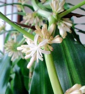 幸福の木開花