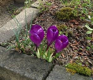 クロッカス紫