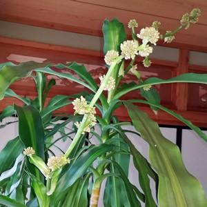 幸福の木の花茎