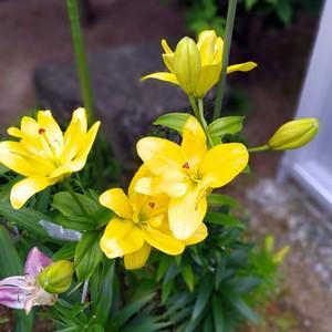 百合 黄色